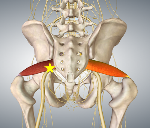 梨状筋と坐骨神経1